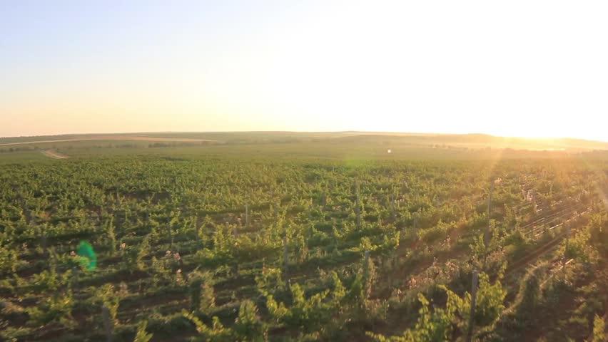 Grape field at sunrise. aerial shot | Shutterstock HD Video #5893355