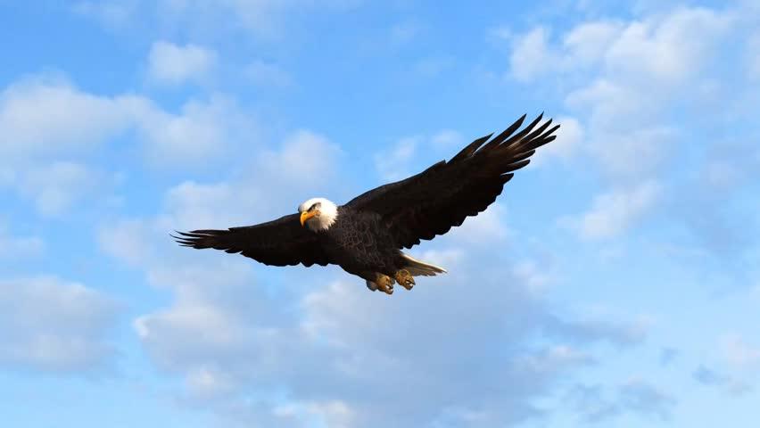 Bald Eagle flys in the sky | Shutterstock HD Video #5938565
