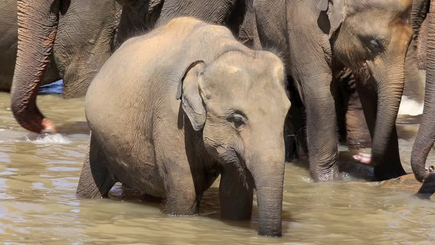 Baby elephant standing in river amongst herd at Pinnawala elephant orphanage