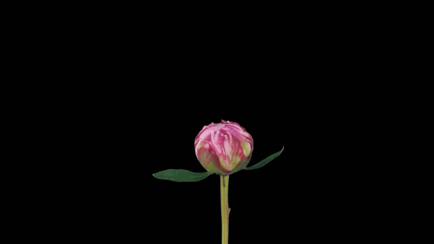 Time-lapse of opening pink peony (Paeonia) flower 1a1 in PNG+ format with alpha transparency channel, isolated on black background. | Shutterstock HD Video #5977922