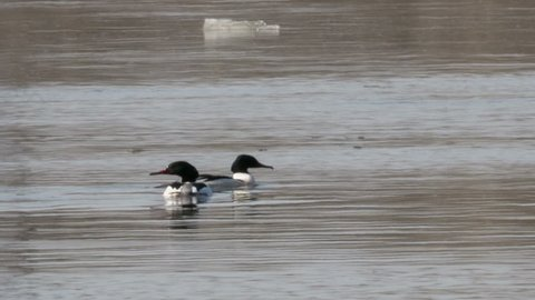 Two male Goosander floating in a river with fast current