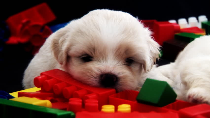 Cute Fluffy Puppy Chewing A Stock
