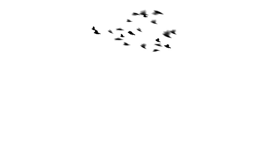 A flock of pigeons flies in a loop around the screen. The flock swoops and dives. Easy to silo or key over other footage or stills.