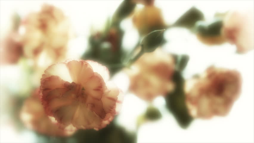 Soft focus flower UHD flower background stock footage. A dolly shot of a beautiful soft focused flower filmed on the Arri Alexa in Ultra High Definition 3840 x 2160.