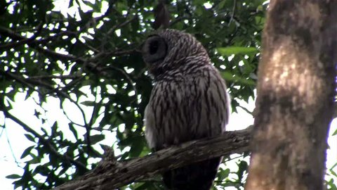 A barred owl calls out from a tree.