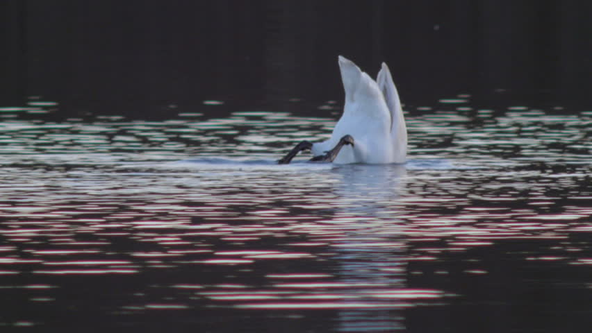 Whooper Swans (Cygnus cygnus) and other birds swimming in a small lake in early Spring. | Shutterstock HD Video #6105158