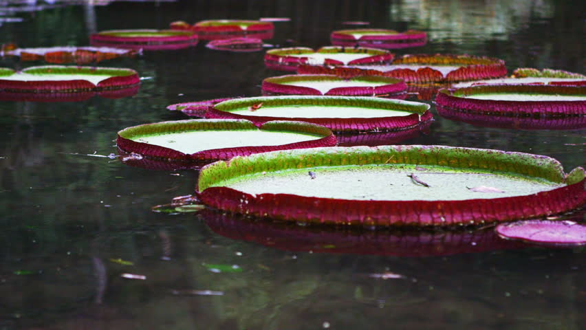 Panning shot of pink and green waterlillys in