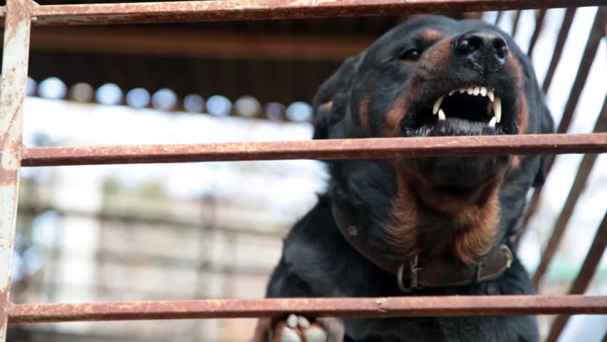 Rottweiler barking