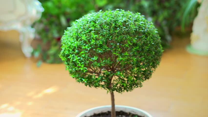 House Plant Myrtle Tree Rotation Stock