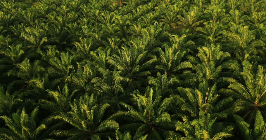 Aerial View: Palm oil plantation in Krabi province, Thailand. February 2014. Krabi is a southern province on Thailand's Andaman seaboard. The region derives much of its income from tourism.