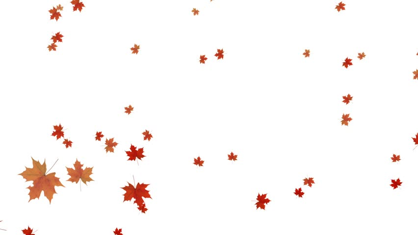Maple fall background,autumn composition space.garden ornamental leaves,canadian maple leaf. cg_01238