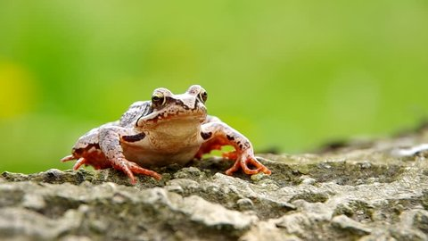 Edible Frog on a wooden bark and green background