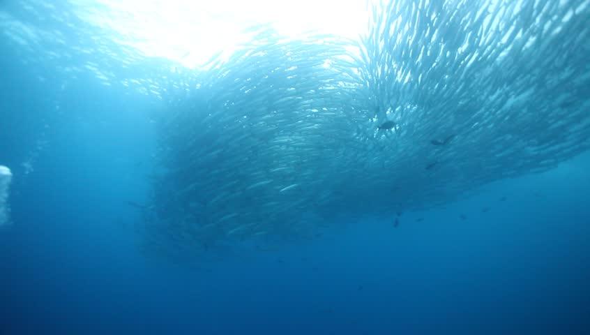 WS school of barracuda vortex