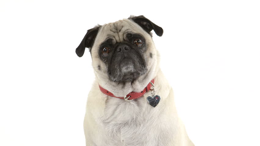 Two shots (one close up, one wide) of a cute pug dog listening while doing head tilts.