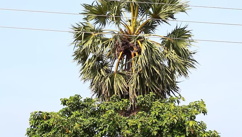 На растут пальмы марихуаны манага из конопли как варить