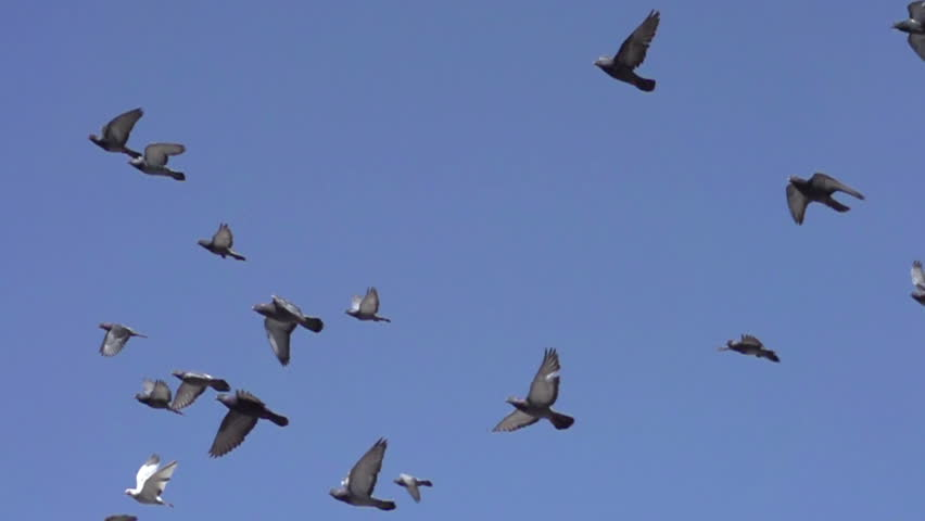 Flock of Pigeons in the Sky. Flock of birds flying left against the blue sky. Slow Motion at a rate of 480 fps