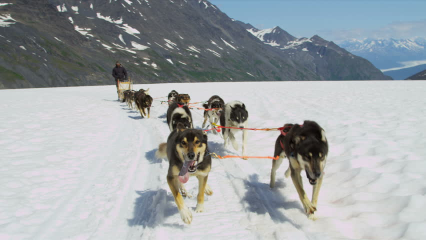 Alaskan Husky dogs used for dog sled adventures, USA - Working Alaskan Husky dogs with high endurance they are frequently used for tours and dog sled adventures, USA, RED EPIC