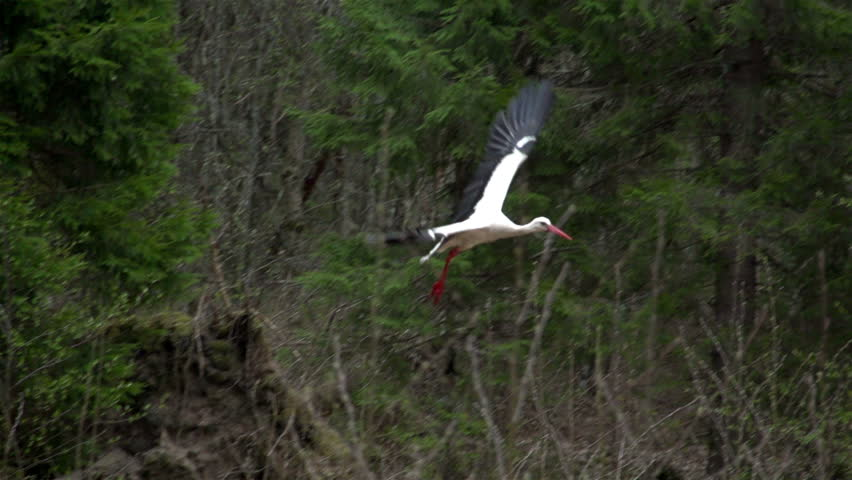 The beauty of a white stork bird flying in the air with its wings wide spread