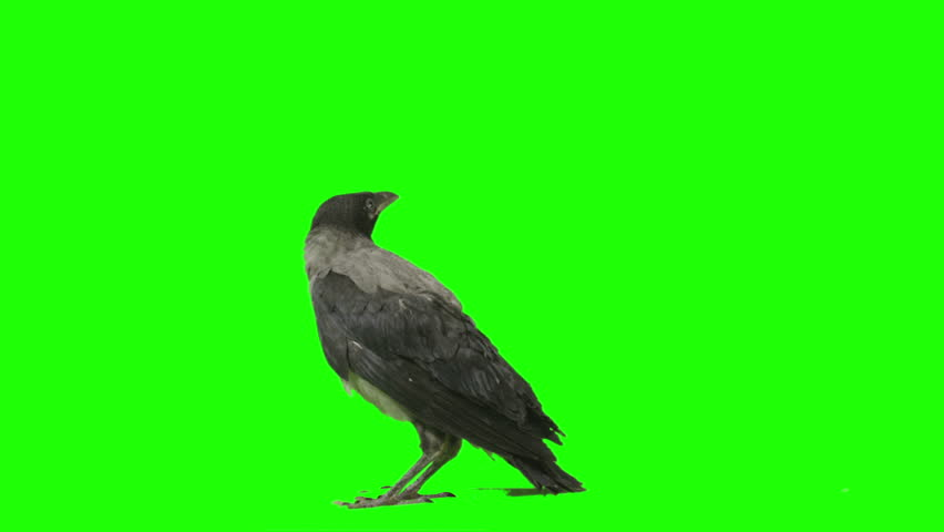 Crow lands and looks around on green screen. Shot with Red Epic.