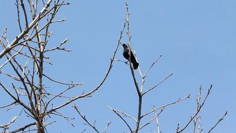 Blackbird in a tree. Springtime in Toronto, Ontario, Canada.