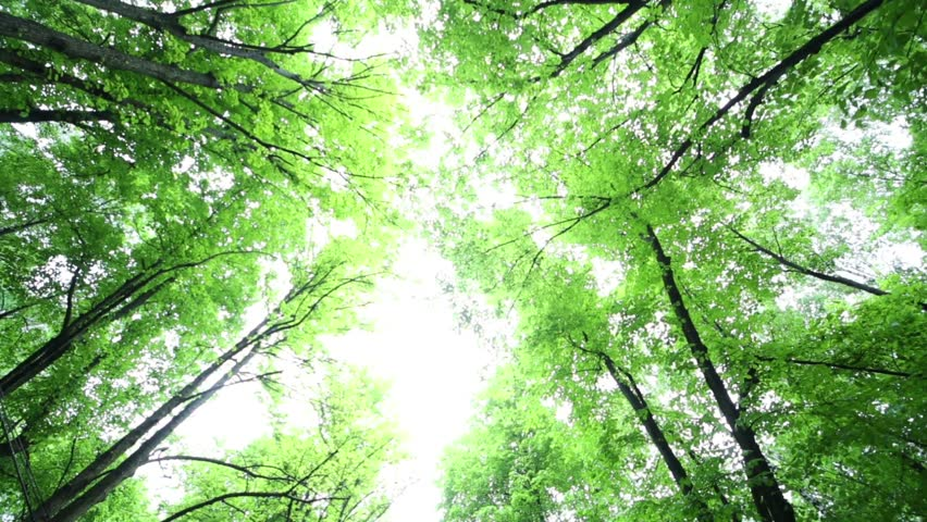 Bottom view from car to trees tops with green foliage and sunlight | Shutterstock HD Video #6420008