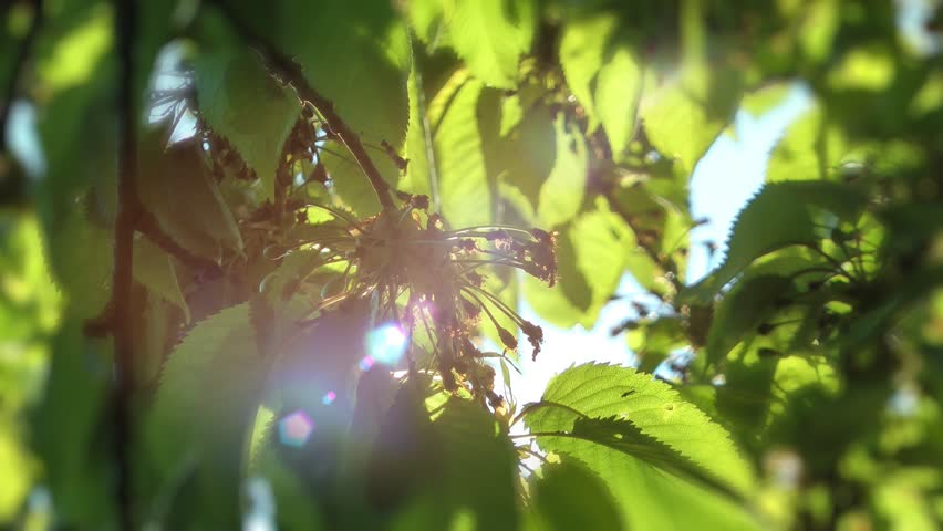 Green leaves natural background - rack focus sunlight lens flares | Shutterstock HD Video #6458138