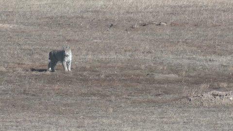 Bobcat Lone Hunting Winter Great Plains