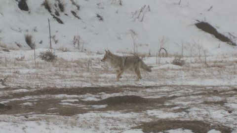 Coyote Lone Hunting Winter Snow Trotting