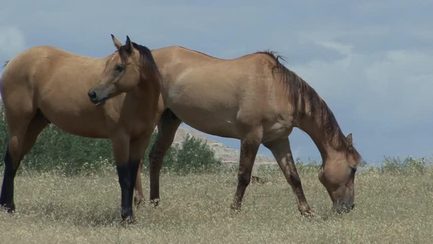 Horse Pair Feeding Summer Great Plains Rangeland Grazing | Shutterstock HD Video #6487787