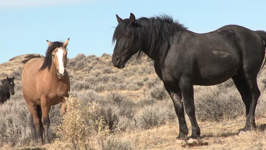 Horse Adult Pair Summer Feral Wild Free Ranging Black Brown Tan | Shutterstock HD Video #6496376