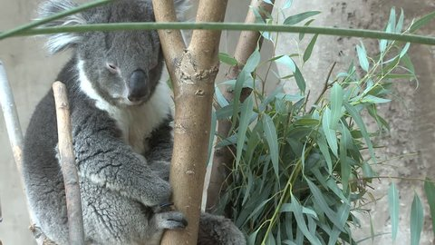 Koala Adult Lone Resting