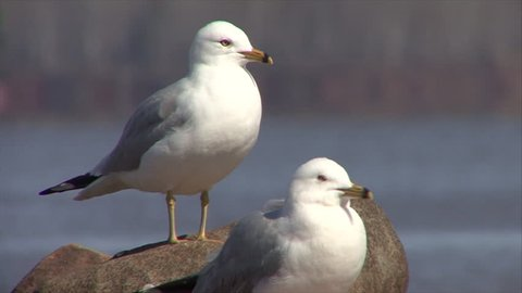 Ring-billed Gull Adult Pair Spring