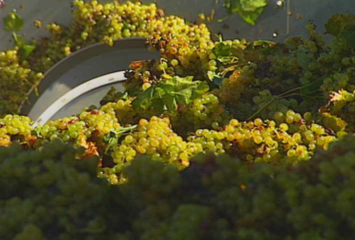 Grapes pushed along by an auger.