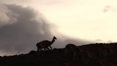 Guanacos in the Andes mountains, Patagonia, Torres Del Paine.