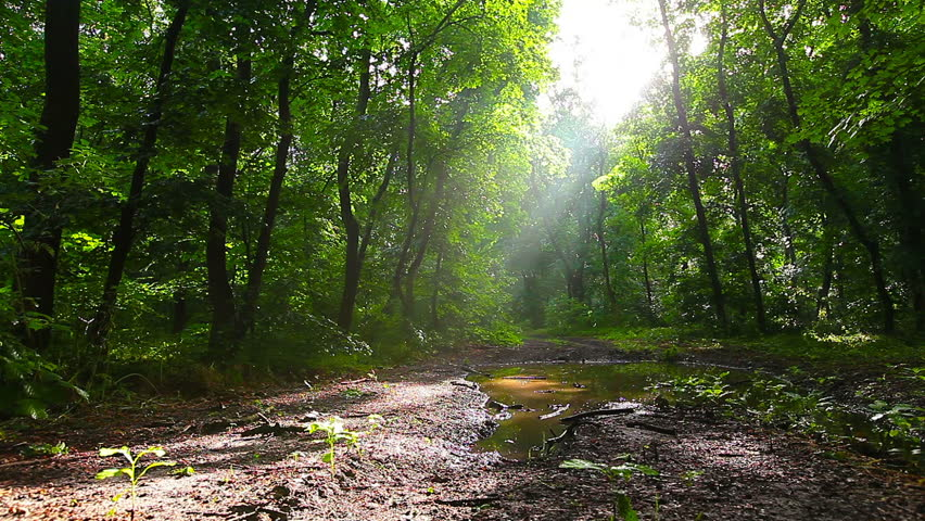 Morning in the forest. the sun's rays pass through trees   Shutterstock HD Video #6523028