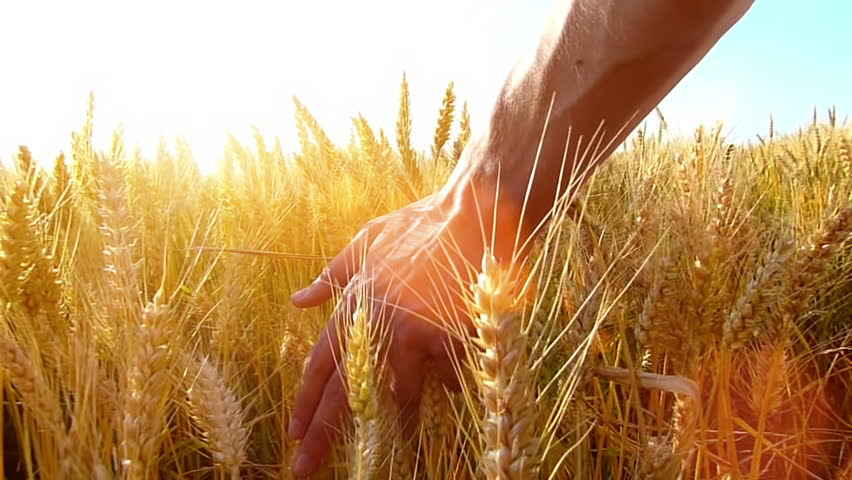 Male hand touching a golden wheat ear in the wheat field, sunset light, flare light.Unrecognizable person, slow motion, high speed camera,copy space  | Shutterstock HD Video #6604289