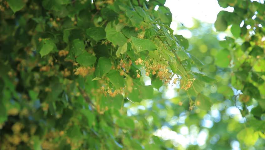 Branch of linden flowers  | Shutterstock HD Video #6666173