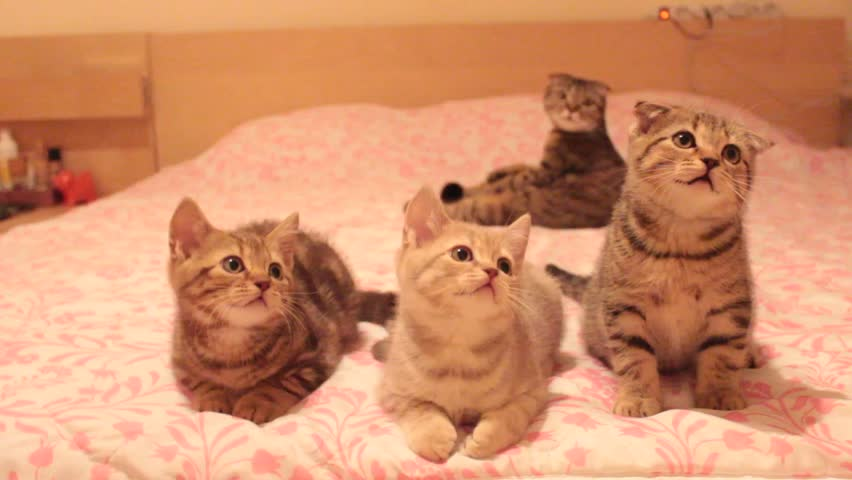 Funny scottish fold cats move their heads back and forth and seem to talk. Silly cat family sing on the bed. Suzie the bomb cat and her kittens: Ozzy, Thomas and Garfield.
