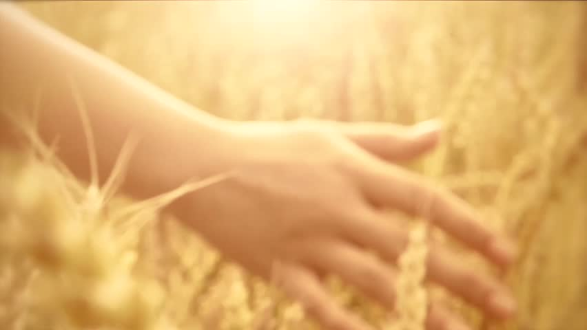 Woman's hand running through wheat field. Girl's hand touching wheat ears closeup.Harvest concept. Harvesting. Slow motion video footage 240 fps. Full HD 1080p