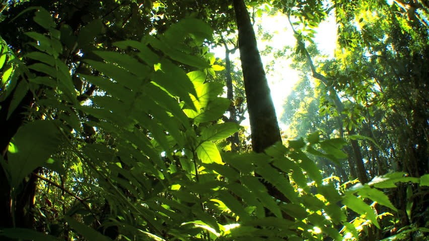 Sunlight filtering onto verdant green rainforest fauna  with audio