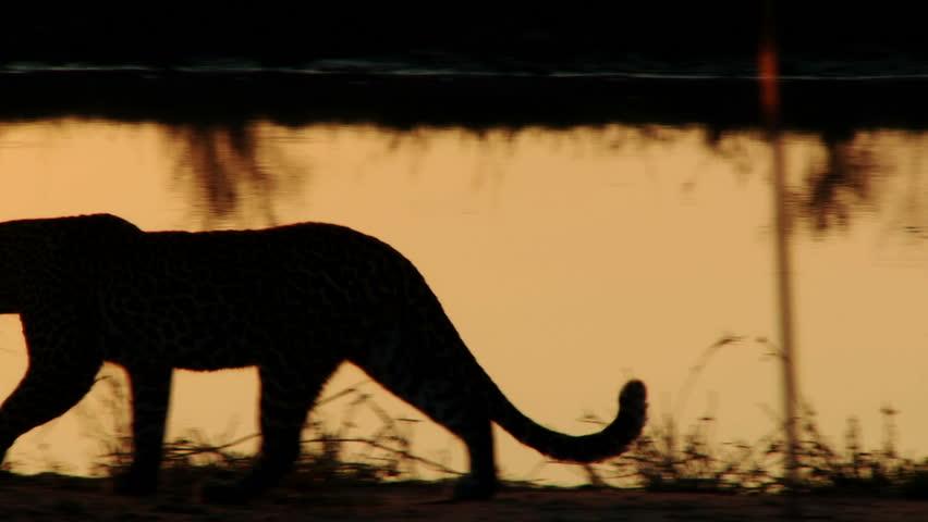 A leopard is silhouetted by the setting sun as it walks along a waterhole #678253
