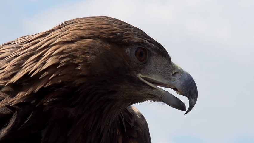 Golden Eagle Spread its Wings. Slow Motion at a rate of 480 fps. Golden eagle spread its wings and turned away from the camera on the background of cloudy sky #6797941