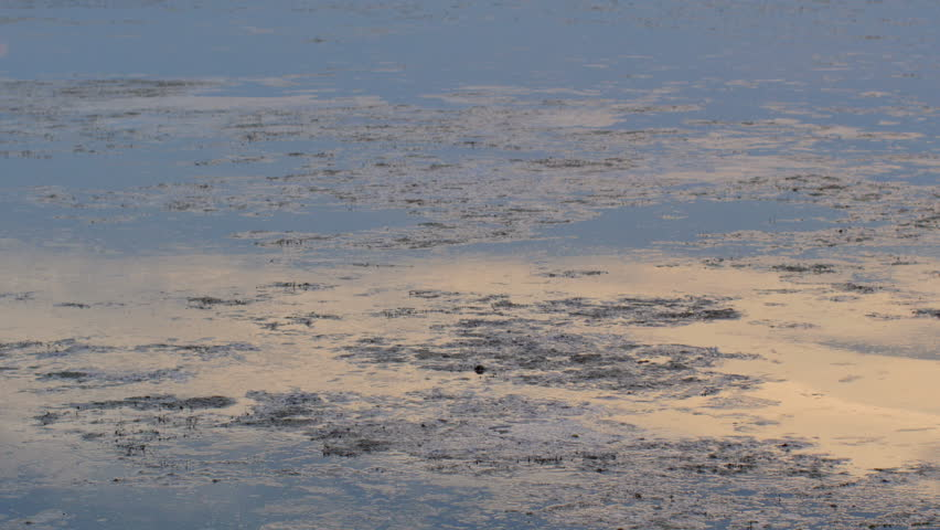 Water reflecting the sunrise in a small lake. Lots of alga in the water. Summer in southern Finland.   Shutterstock HD Video #6838729
