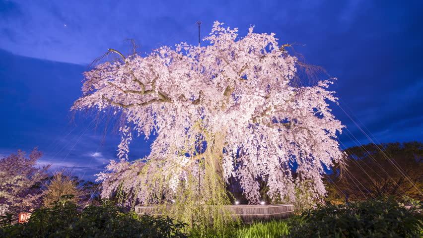Weeping Cherry Tree In Maruyama Park Kyoto Japan