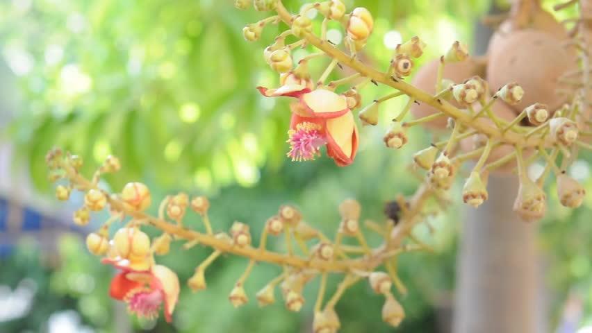 Beautiful Cannonball flower | Shutterstock HD Video #6985120