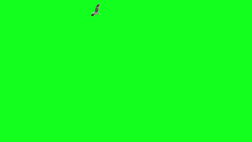 Pack of two big bird flying on green screen. One starts from left goes to right and makes a turn and exits frame from left. One starts from left and end at right side of the frame.  Royalty-Free Stock Footage #6993937