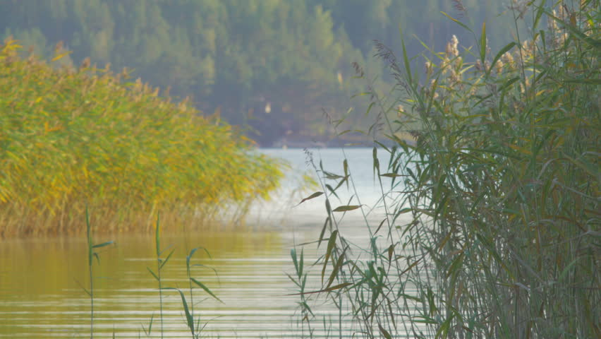 Common reeds (Phragmites australis) at evening. Windy summer day in Finland. | Shutterstock HD Video #7032079