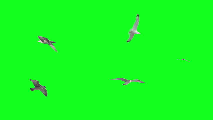 Stabilized flying birds on green screen. Ready to be animated as you wish.  | Shutterstock HD Video #7034440