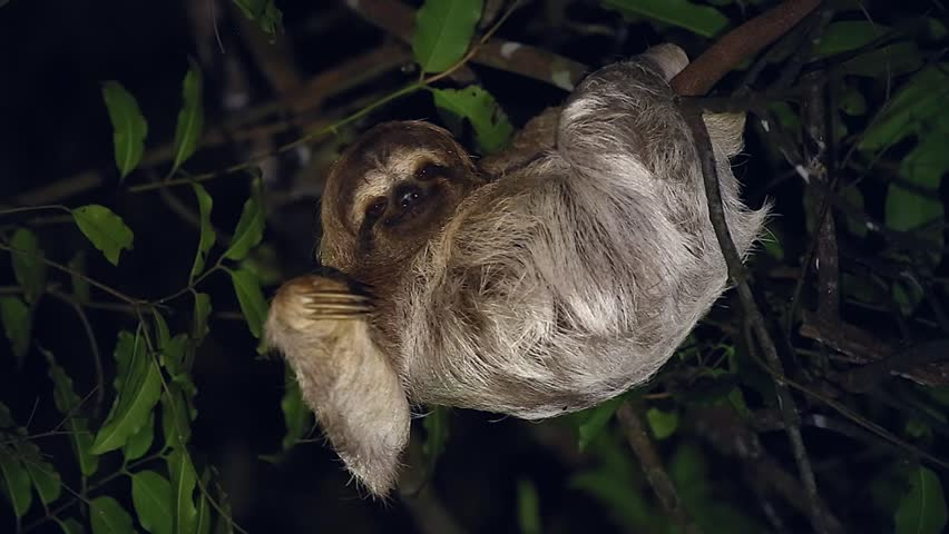 A Brown-throated Three-toed Sloth (Bradypus variegatus) humorously smiles & waves to camera in a rainforest in Tortuguero, Costa Rica. Algae grows in fur with a moth species that lives only on sloths. | Shutterstock HD Video #7036039