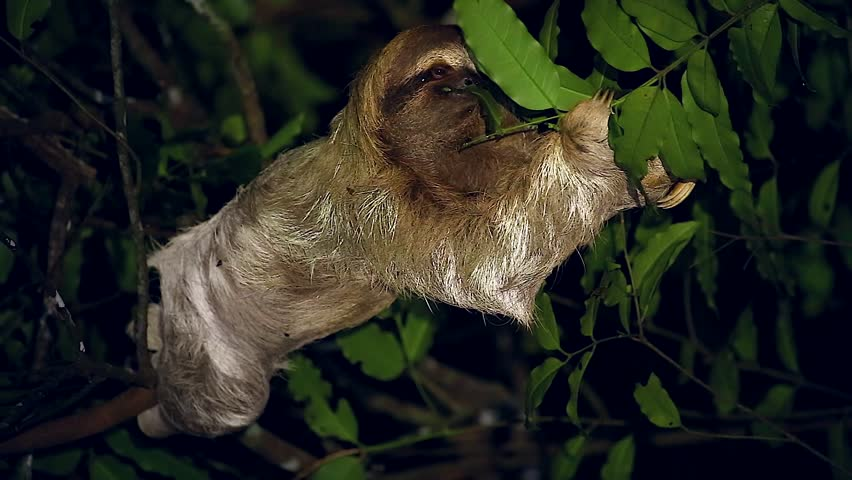 A Brown-throated Three-toed Sloth (Bradypus variegatus) feeds on leaves at night deep in a rainforest in Tortuguero, Costa Rica. Algae grows in fur with a moth species that lives only on sloths. | Shutterstock HD Video #7036090